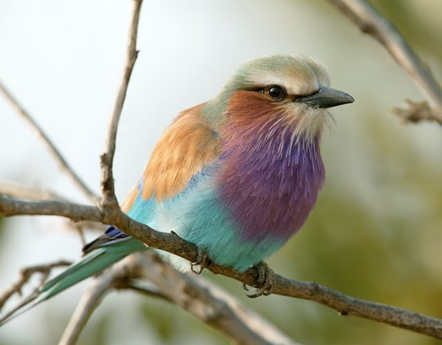 Lilac-breasted Roller Backgrounds, Compatible - PC, Mobile, Gadgets| 640x500 px