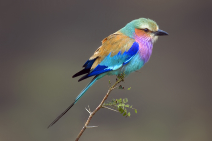 Images of Lilac-breasted Roller | 425x282