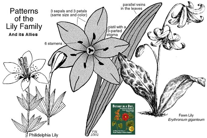 Images of Liliaceae | 680x453