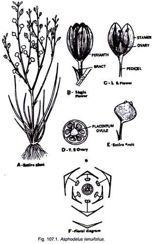 Liliaceae Backgrounds, Compatible - PC, Mobile, Gadgets| 318x499 px