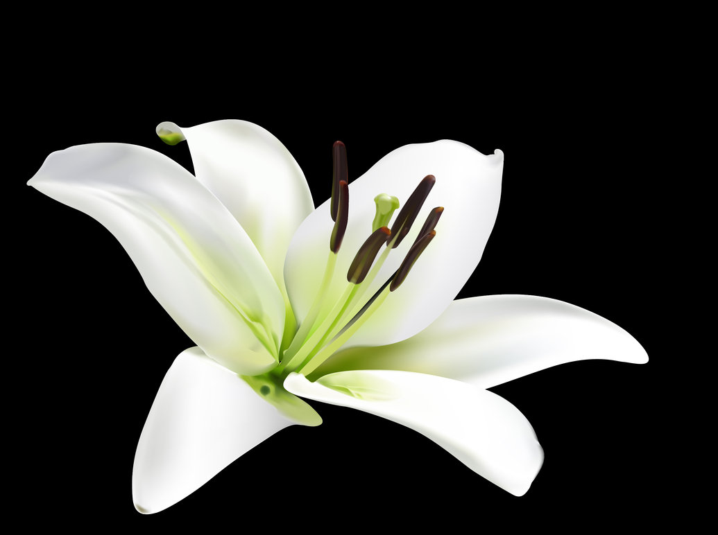 HQ Lily Wallpapers   File 59.05Kb