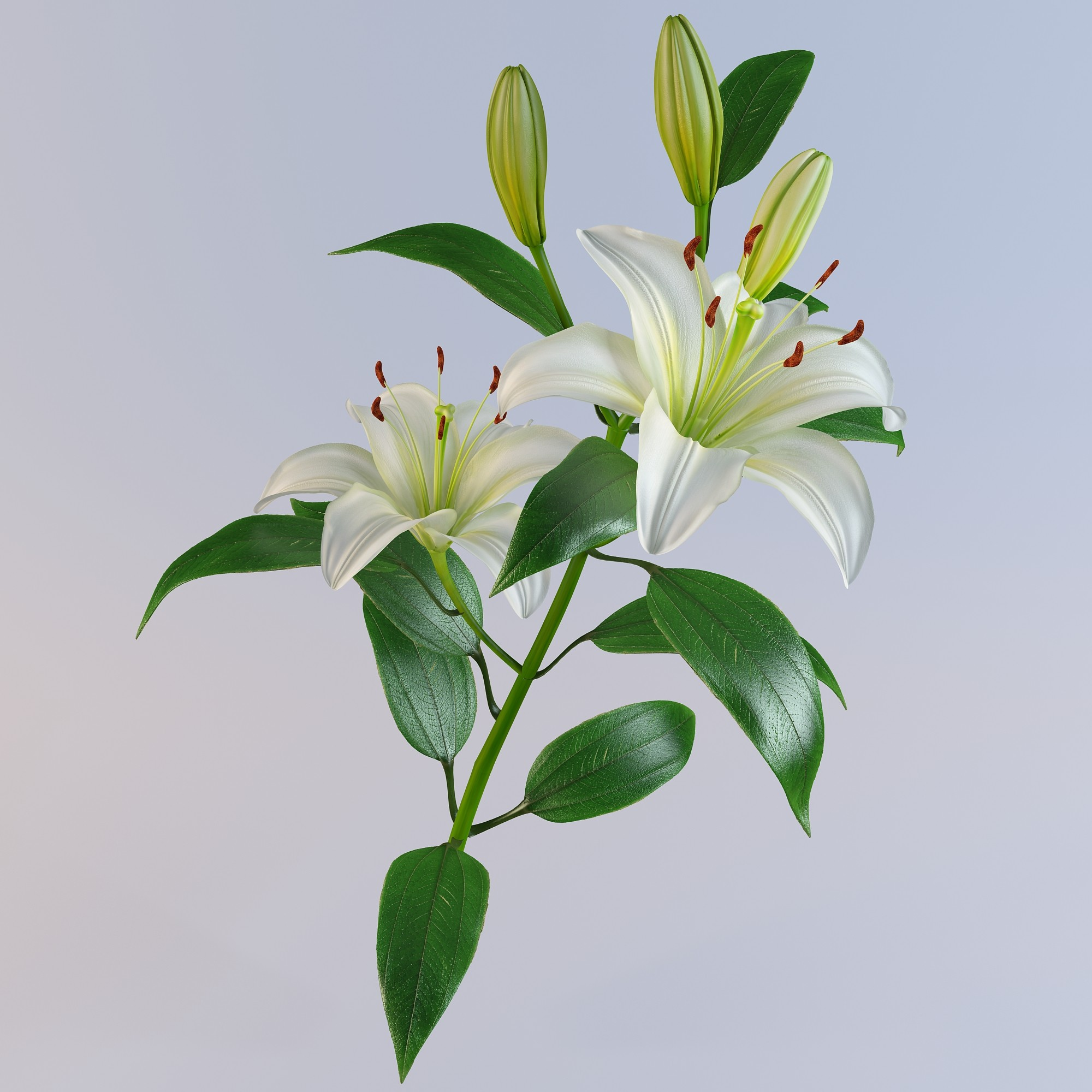 Nice Images Collection: Lily Desktop Wallpapers