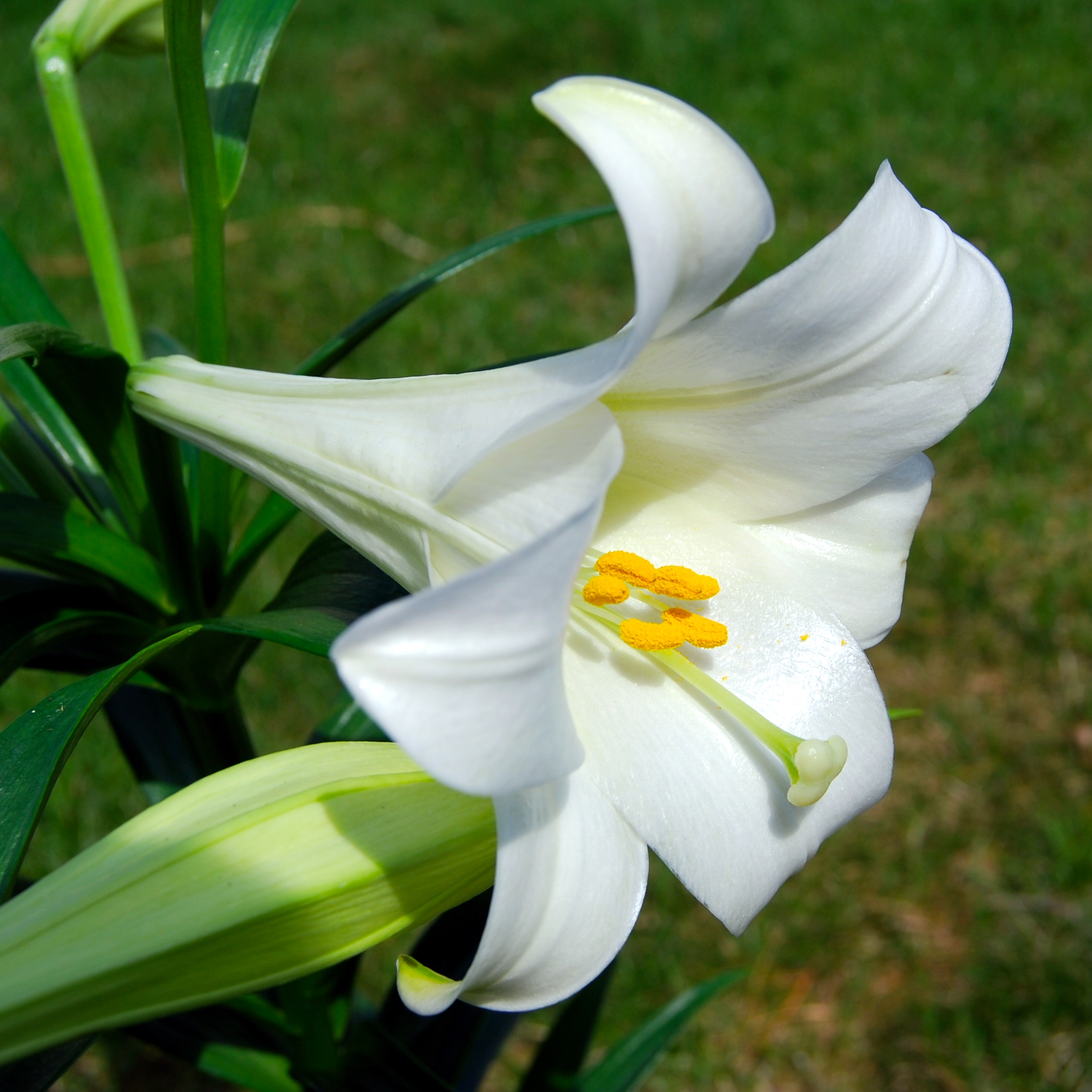 Lily Pics, Earth Collection