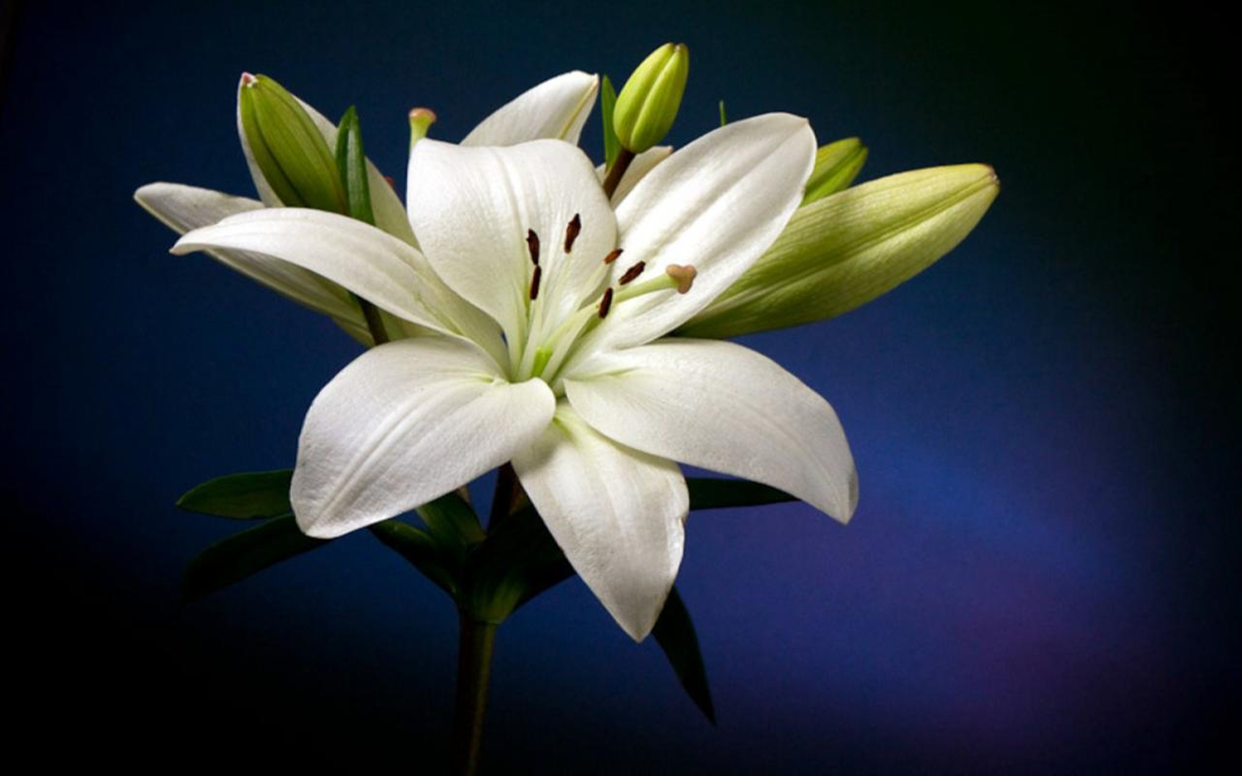 Lily Backgrounds, Compatible - PC, Mobile, Gadgets  2560x1600 px