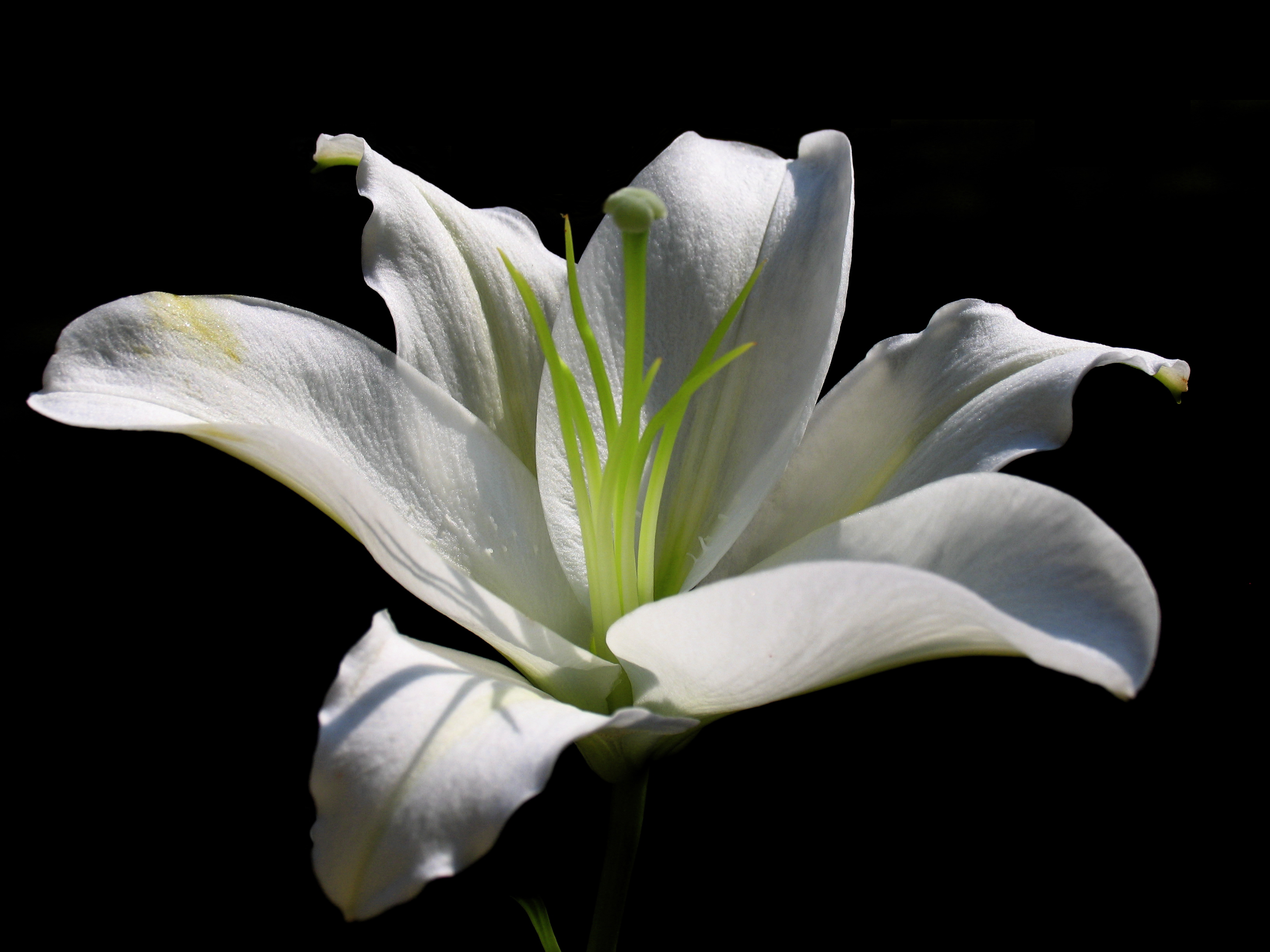 Amazing Lily Pictures & Backgrounds