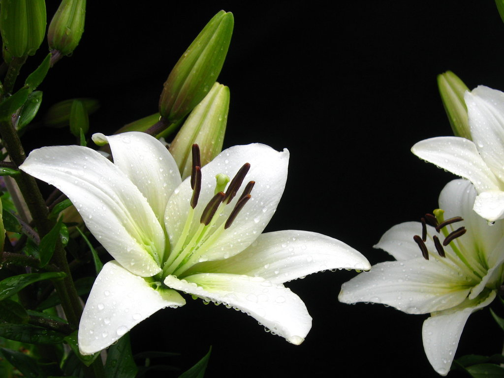1024x769 > Lily Wallpapers