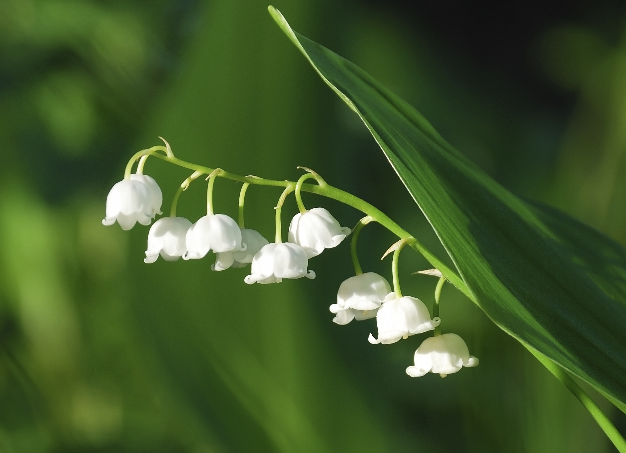 Amazing Lily Of The Valley Pictures & Backgrounds