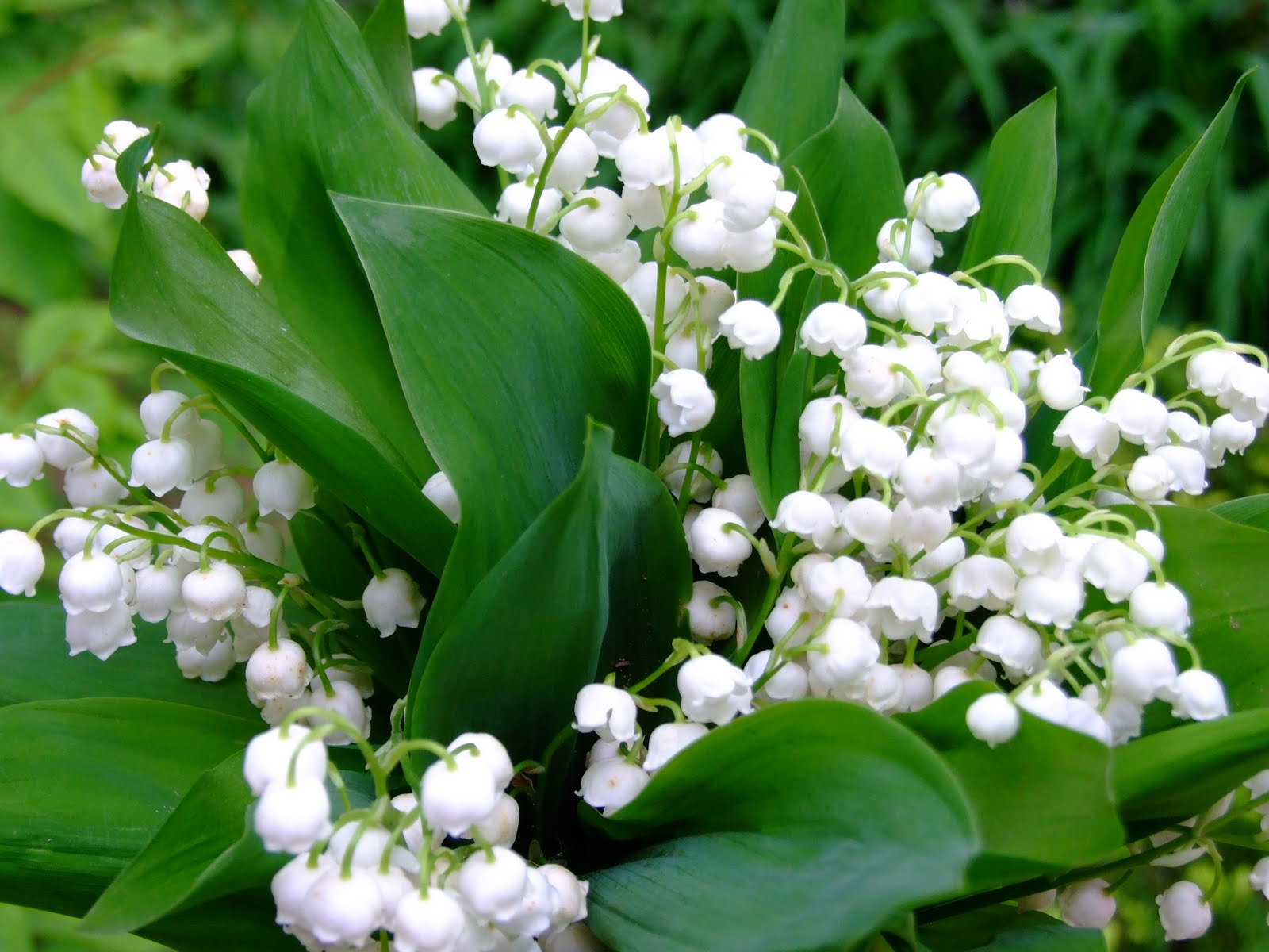 1600x1200 > Lily Of The Valley Wallpapers
