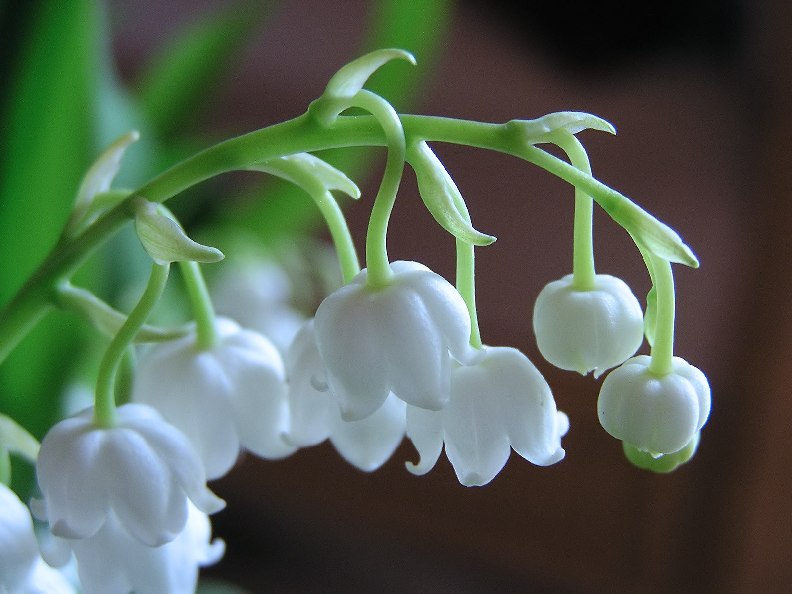 Nice Images Collection: Lily Of The Valley Desktop Wallpapers