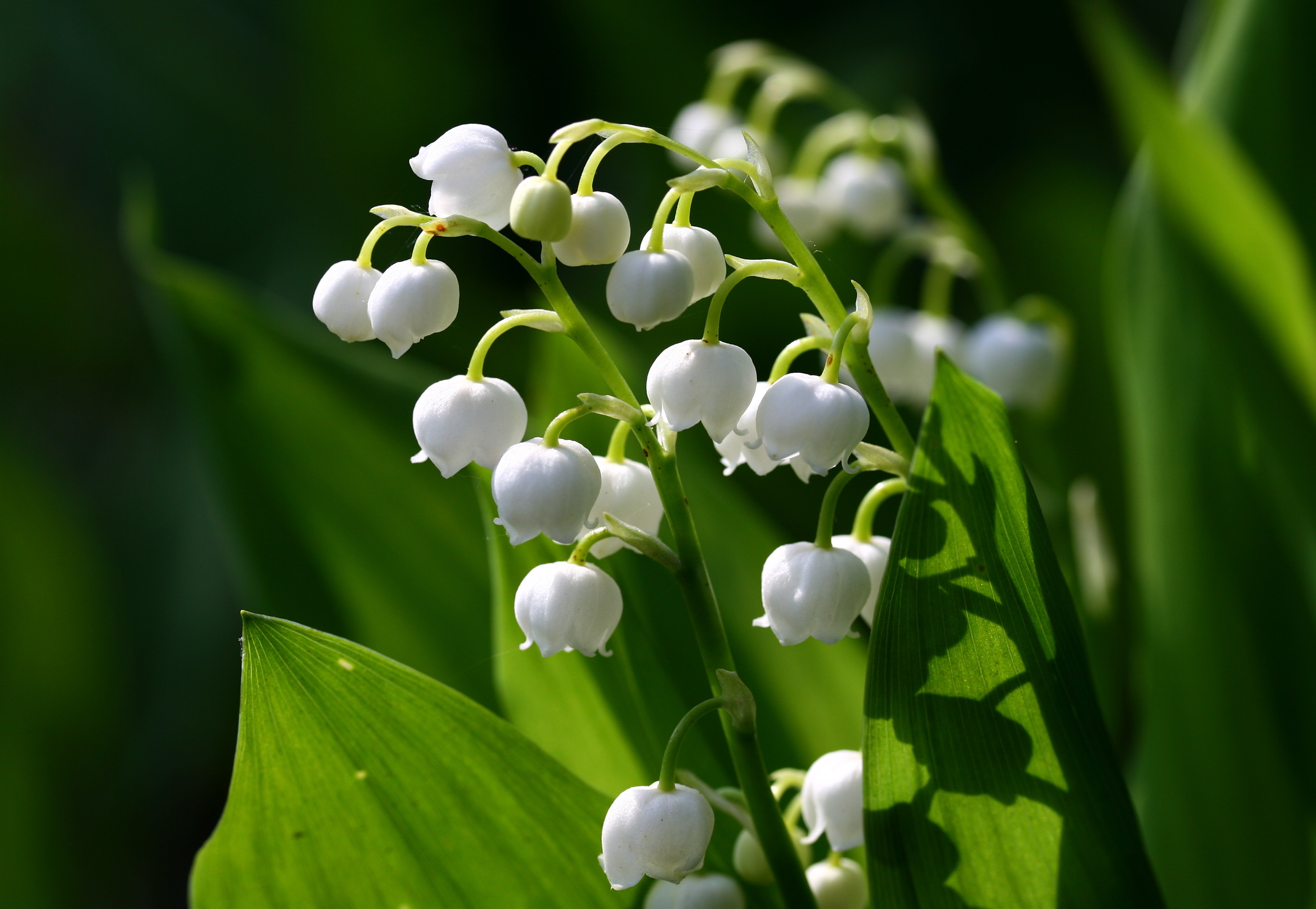 2500x1728 > Lily Of The Valley Wallpapers