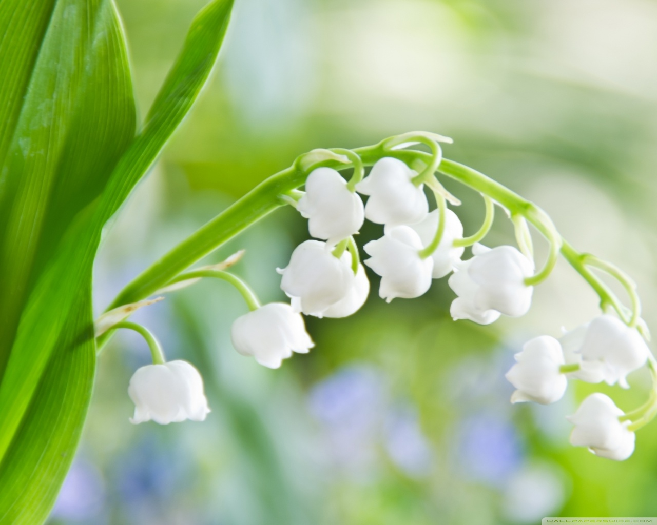 Lily Of The Valley High Quality Background on Wallpapers Vista