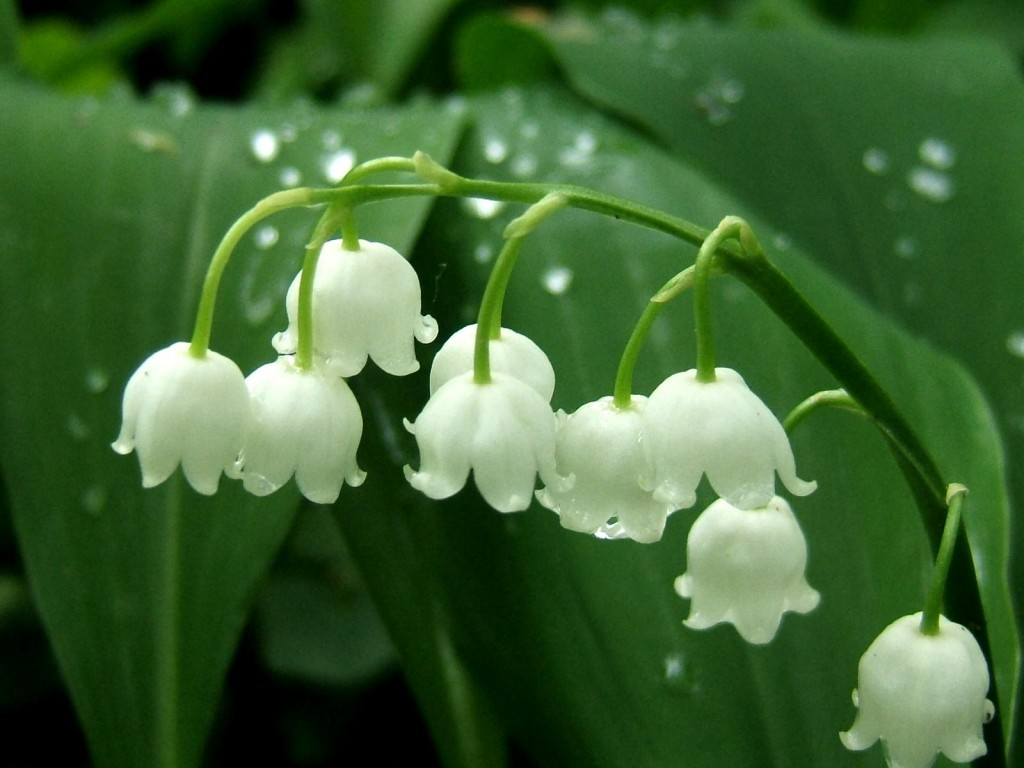 Lily Of The Valley Backgrounds on Wallpapers Vista