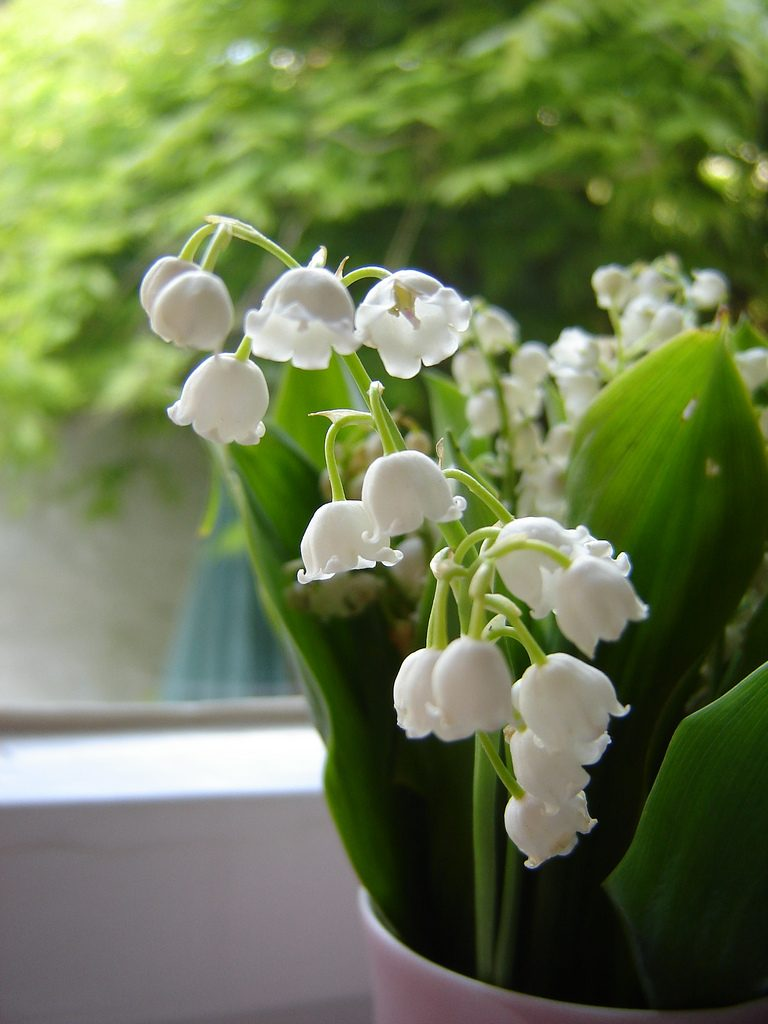 Lily Of The Valley Backgrounds, Compatible - PC, Mobile, Gadgets| 768x1024 px
