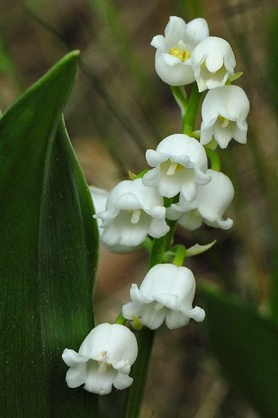 Images of Lily Of The Valley | 400x600
