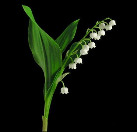 Lily Of The Valley #15
