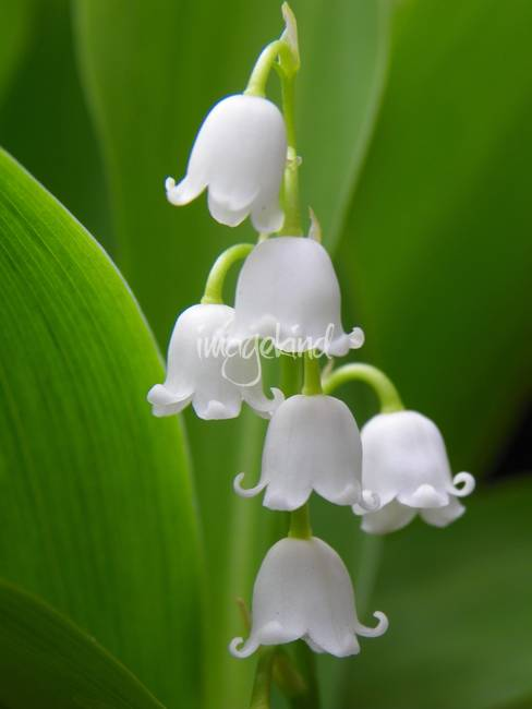 HD Quality Wallpaper | Collection: Earth, 488x650 Lily Of The Valley