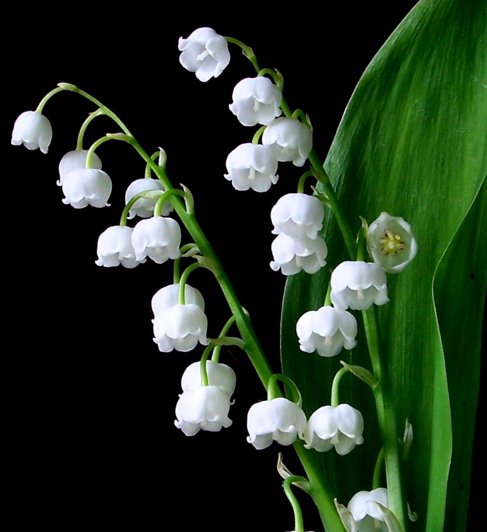 983x1074 > Lily Of The Valley Wallpapers