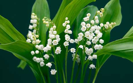 Lily Of The Valley Backgrounds, Compatible - PC, Mobile, Gadgets| 460x288 px