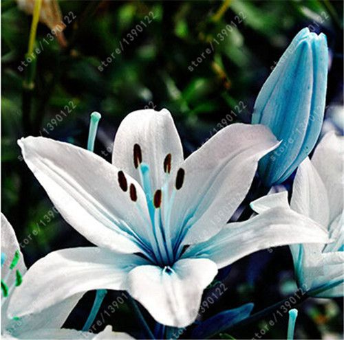 Nice wallpapers Lily 500x495px