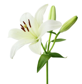 Lily Backgrounds on Wallpapers Vista