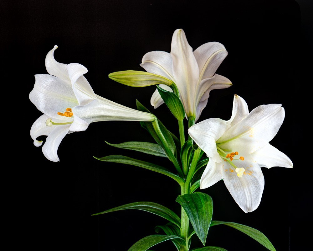 Nice wallpapers Lily 1000x800px
