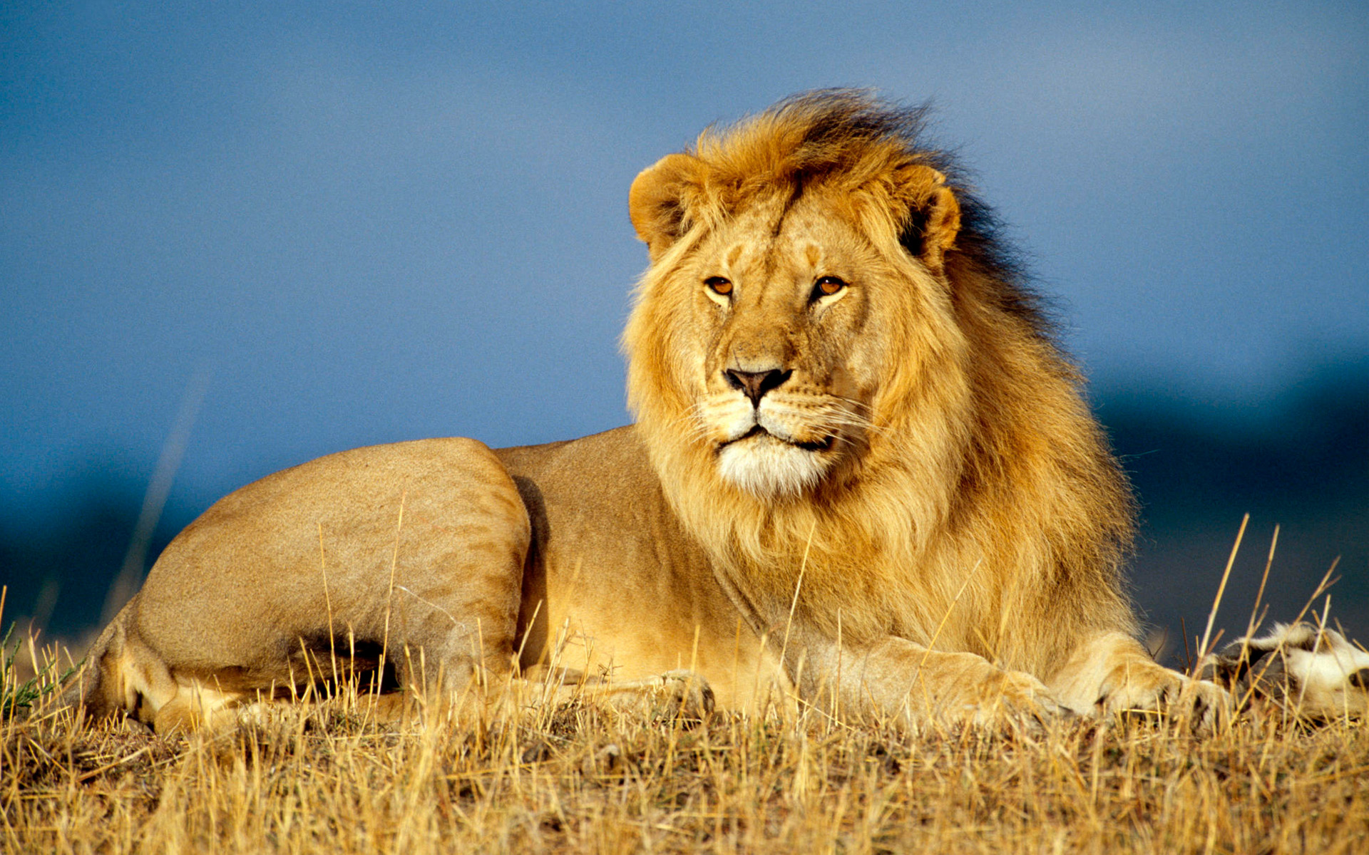 Amazing Lion Pictures & Backgrounds