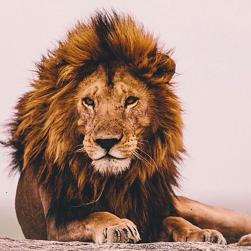 Lion Backgrounds on Wallpapers Vista