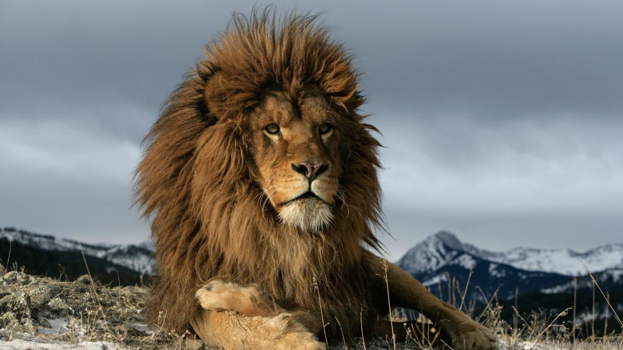 Images of Lion | 1280x720