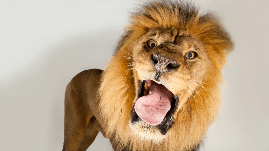 Lion Backgrounds, Compatible - PC, Mobile, Gadgets| 945x531 px
