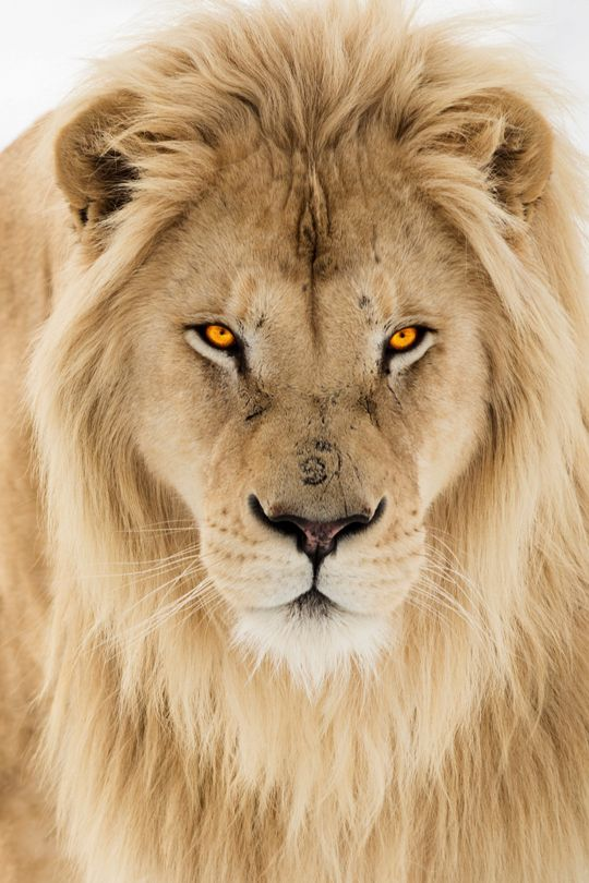 Nice Images Collection: Lion Desktop Wallpapers