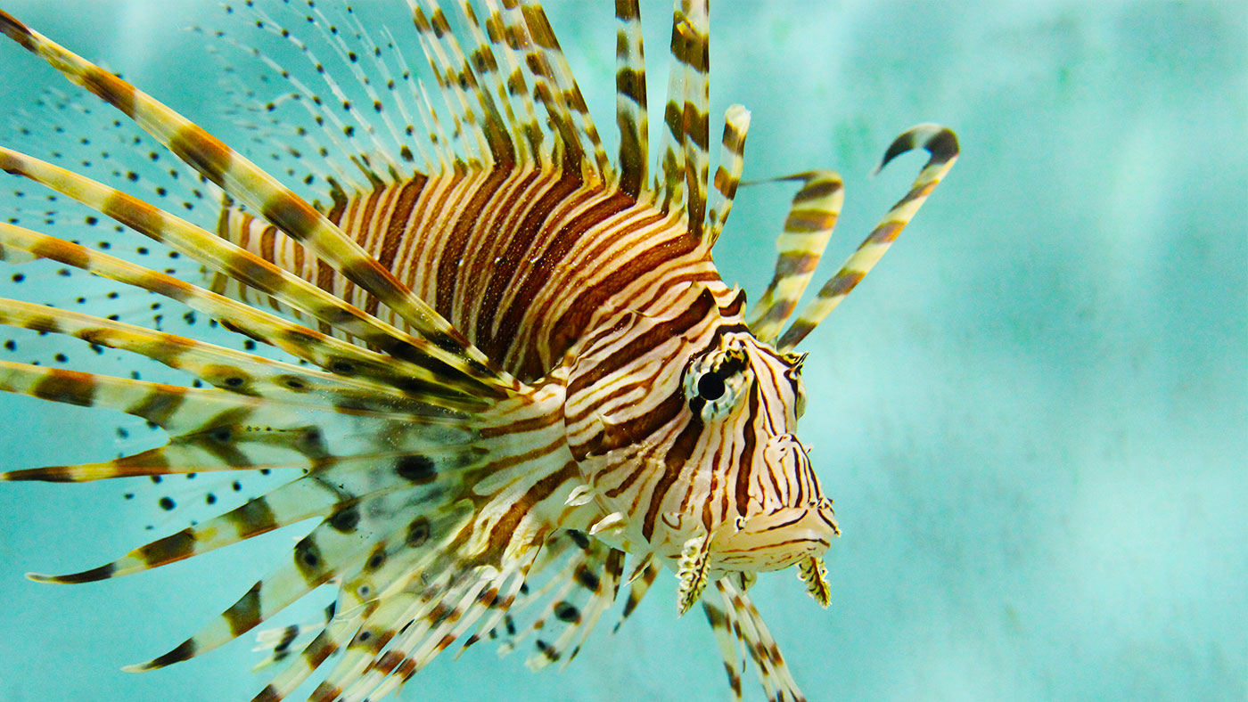 Nice Images Collection: Lionfish Desktop Wallpapers