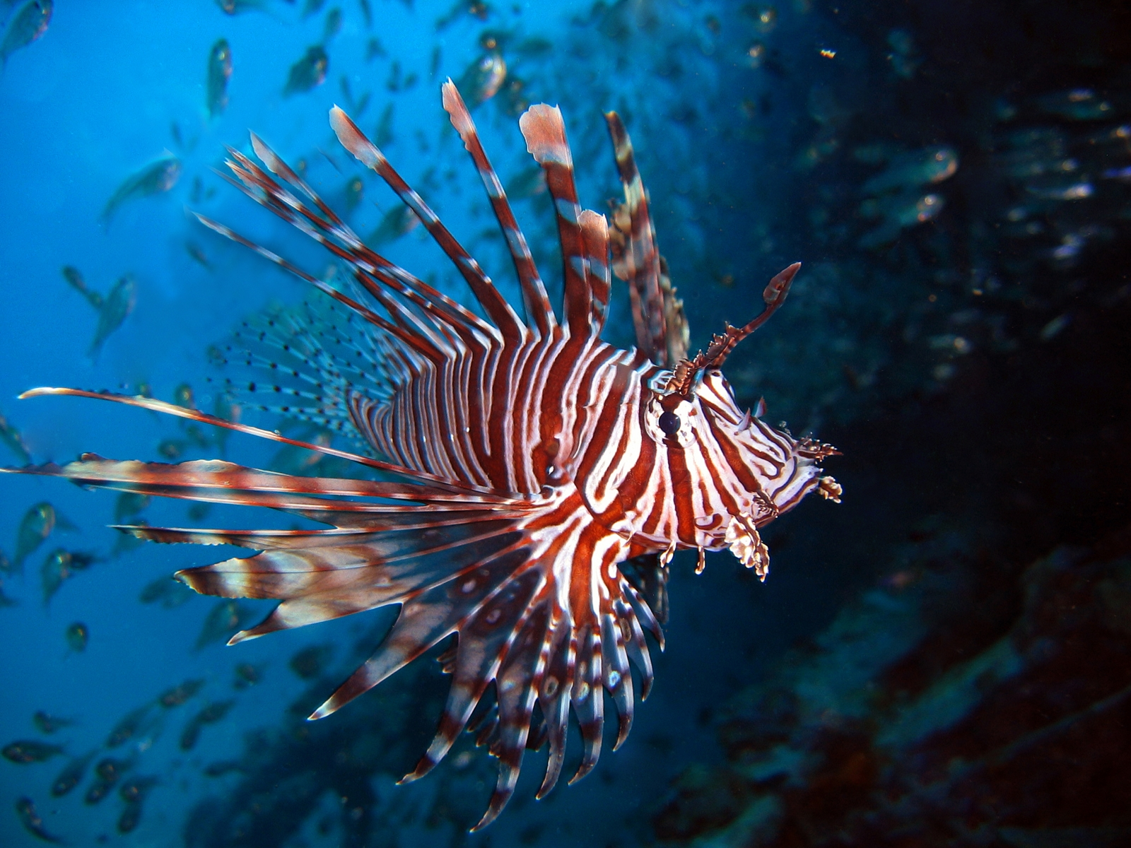 Nice wallpapers Lionfish 1600x1200px