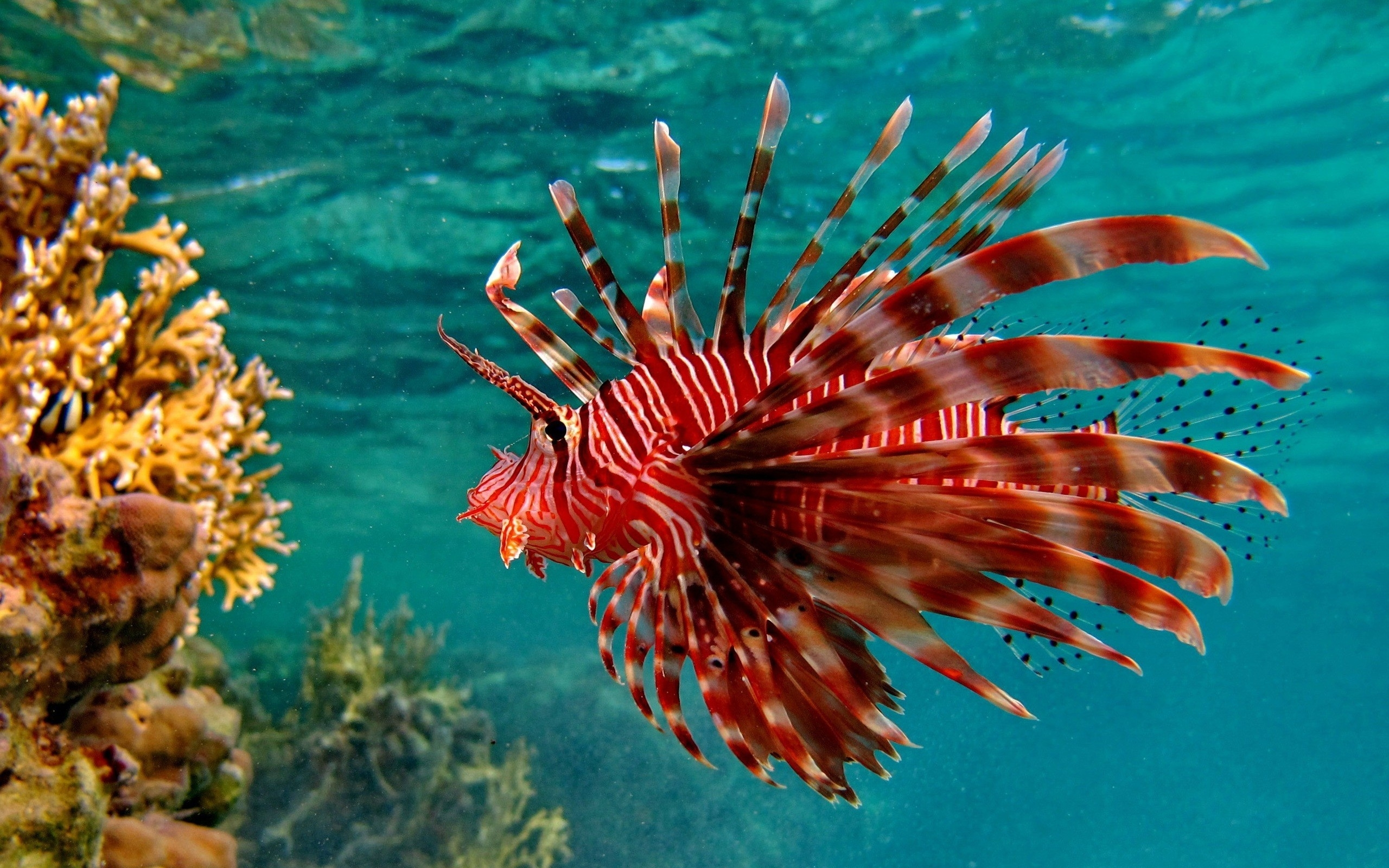 2560x1600 > Lionfish Wallpapers