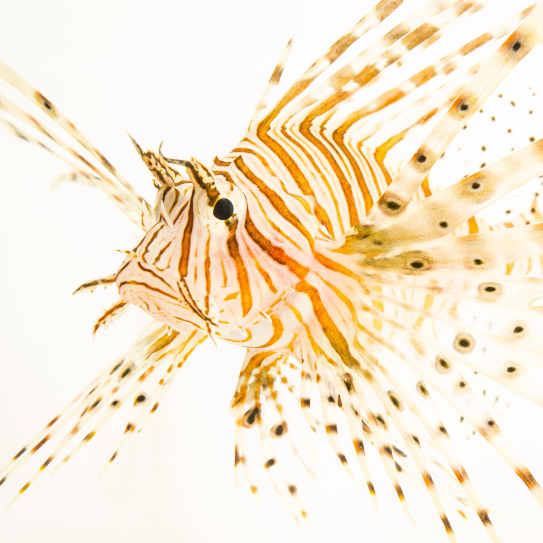 1900x1900 > Lionfish Wallpapers