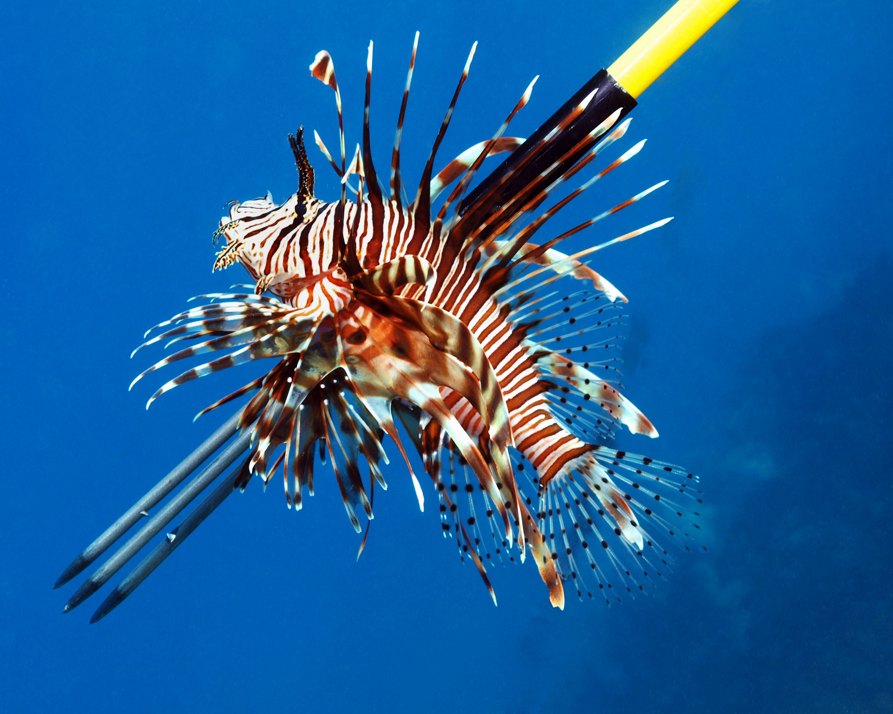 Images of Lionfish | 3000x2400