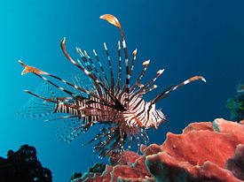 Lionfish High Quality Background on Wallpapers Vista