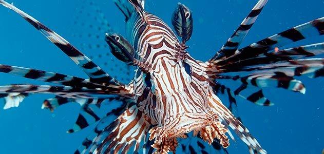 Lionfish #22