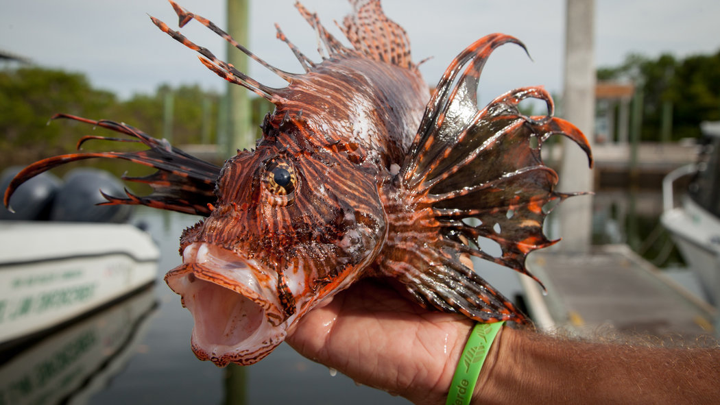 Images of Lionfish | 1050x591
