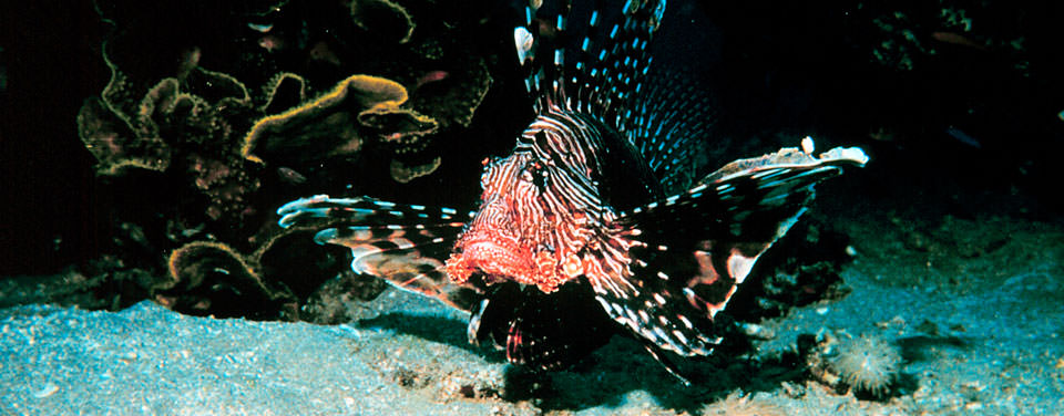 960x376 > Lionfish Wallpapers