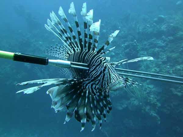 Lionfish Pics, Animal Collection