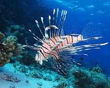 Lionfish HD wallpapers, Desktop wallpaper - most viewed