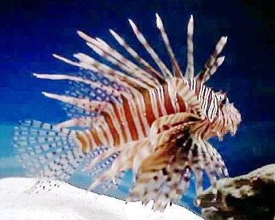 Nice wallpapers Lionfish 400x320px