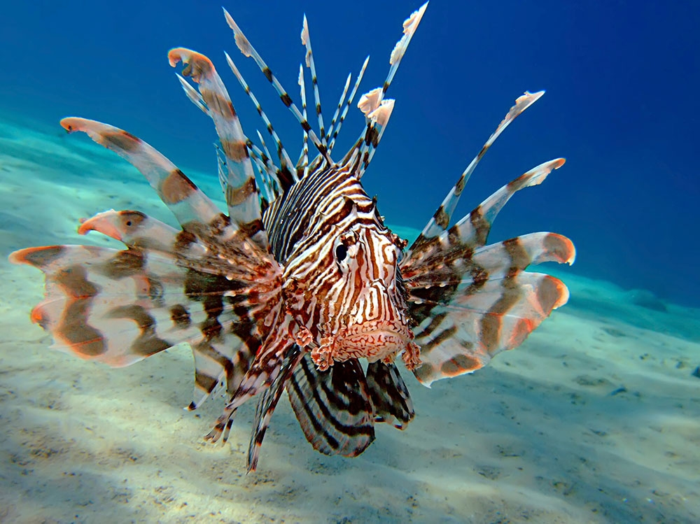 Images of Lionfish | 1000x749