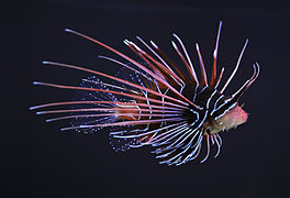Lionfish Backgrounds on Wallpapers Vista