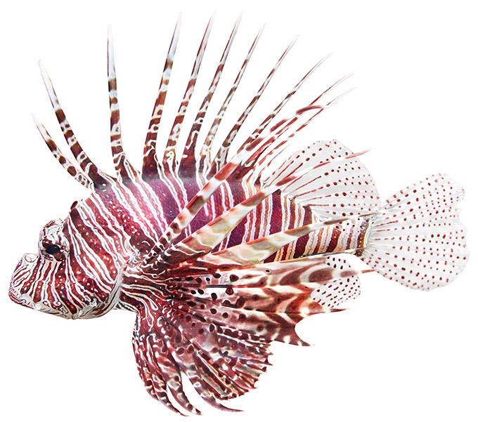 680x601 > Lionfish Wallpapers