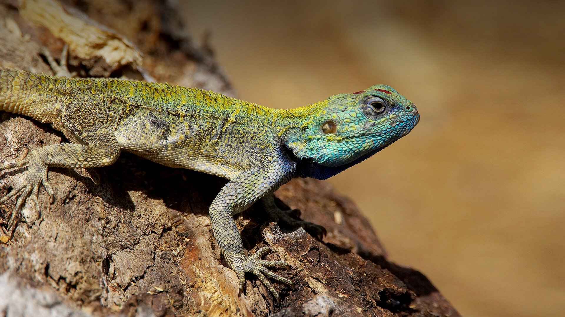 Amazing Lizard Pictures & Backgrounds