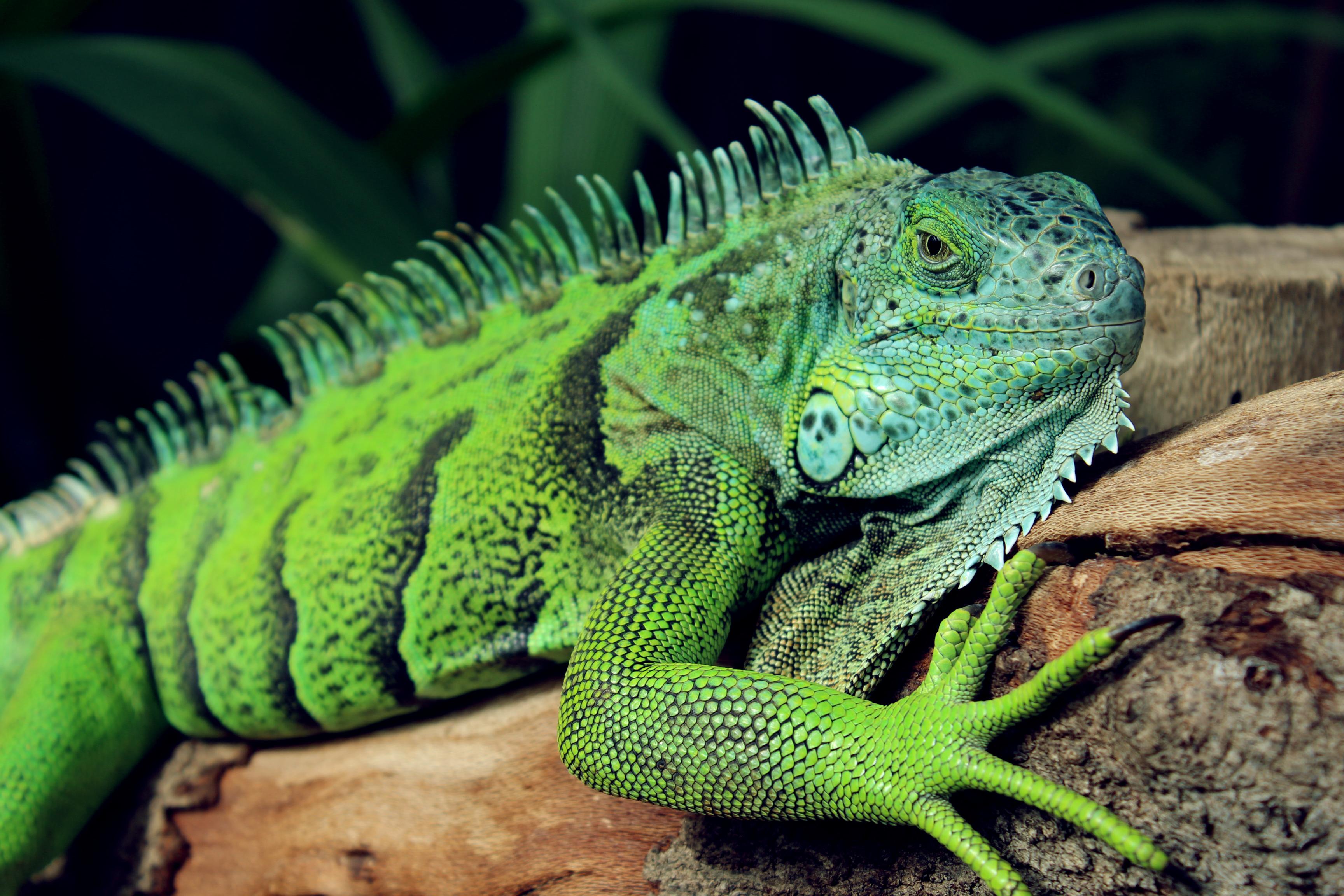 HD Quality Wallpaper | Collection: Animal, 3456x2304 Lizard