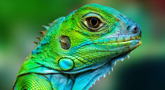 HD Quality Wallpaper | Collection: Animal, 640x351 Lizard