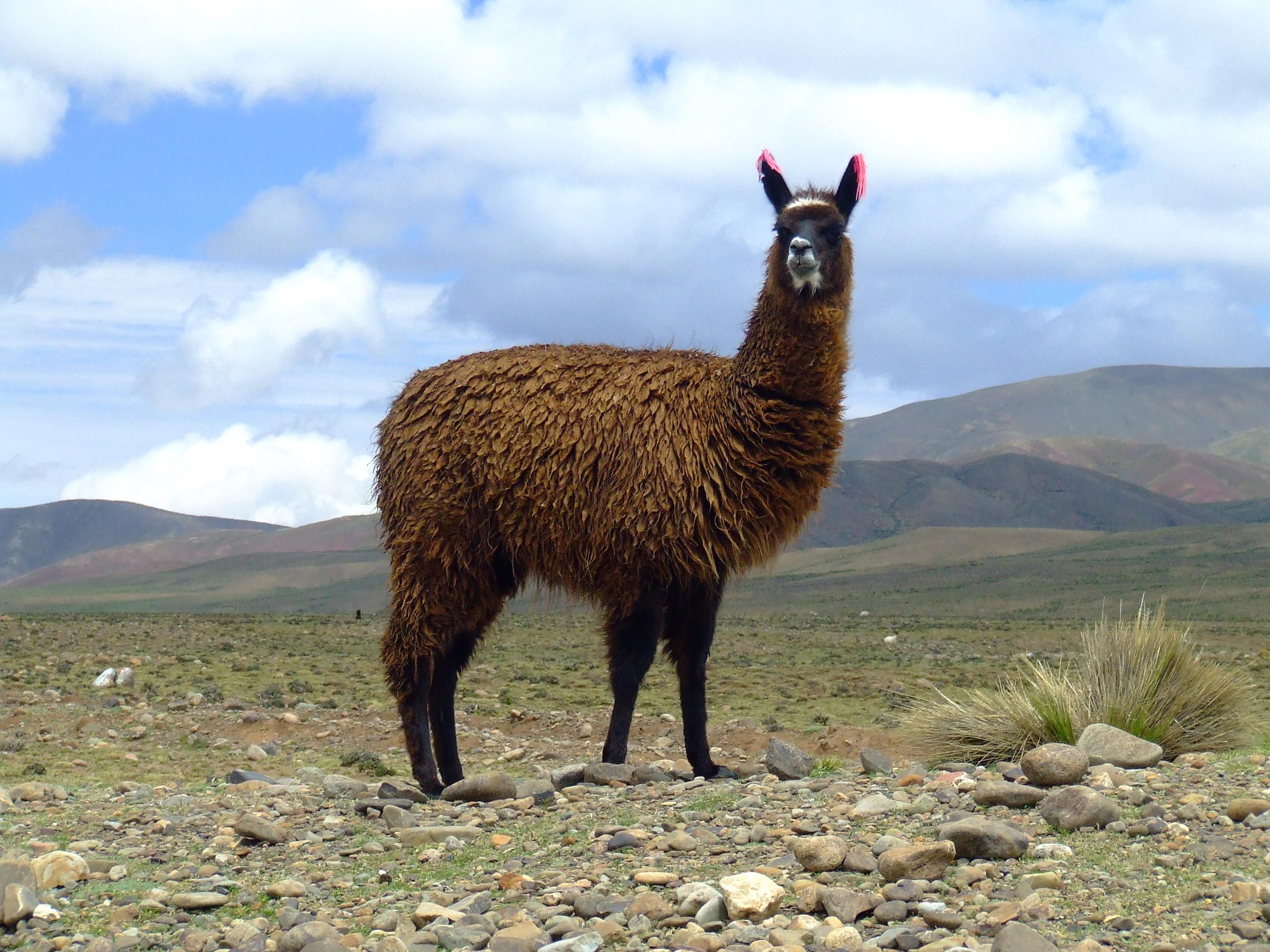 Llama Pics, Animal Collection
