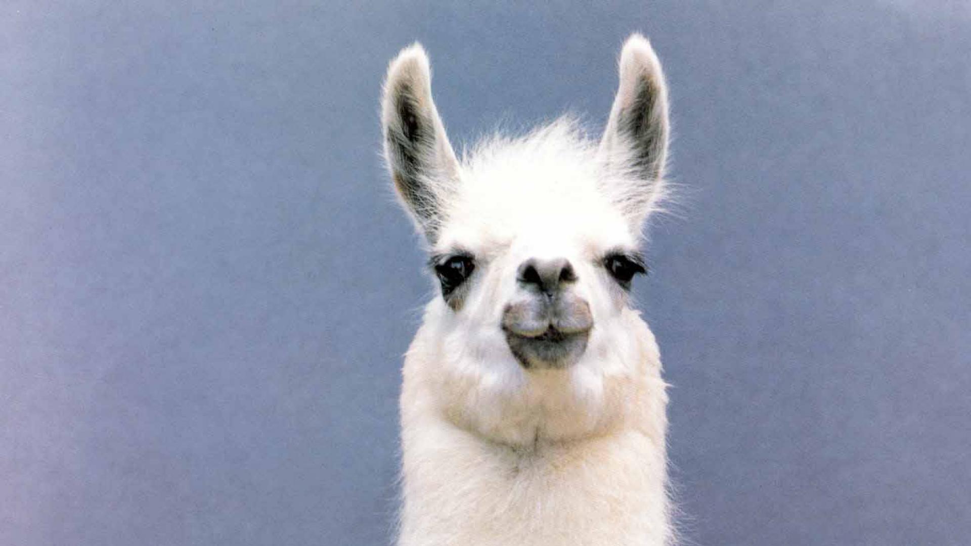 Images of Llama | 1920x1080